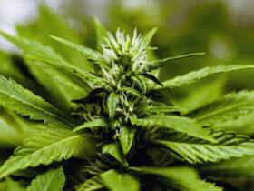 marijuana for pain